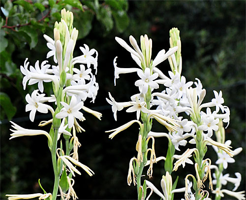 tuberose - Pictures of Flowers