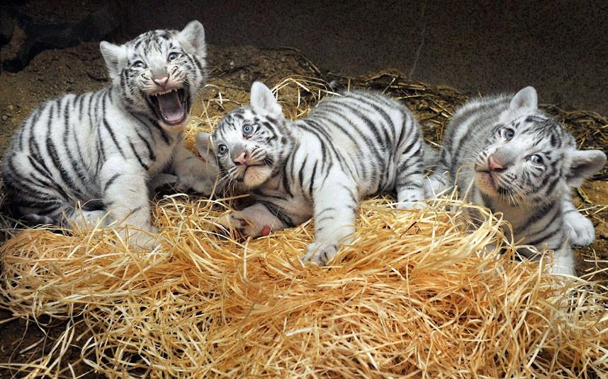 White Tigers cub