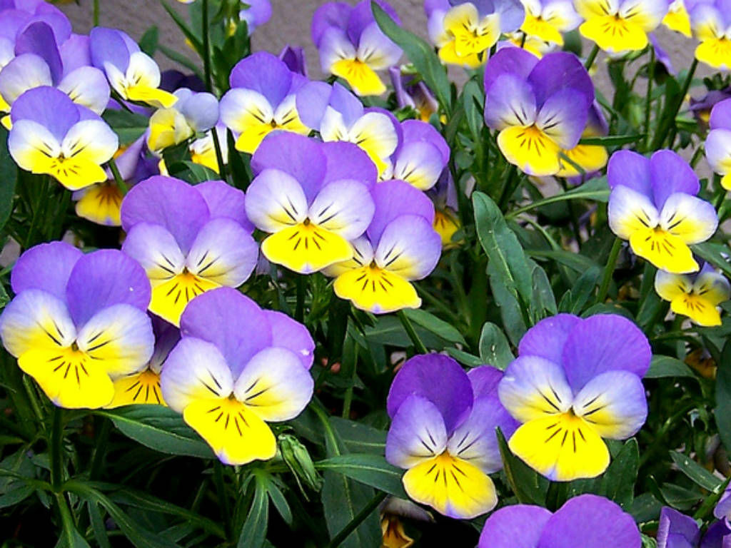 wild pansy - Pictures of Flowers