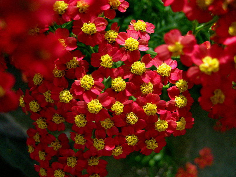 yarrow - Pictures of Flowers