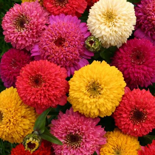 zinnia - Pictures of Flowers